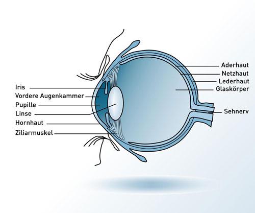 Schaubild Anatomie des Auges | VisuLASE Augenlaserzentrum Weilheim